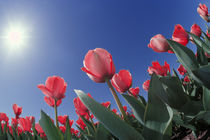 Red tulips from very low angle, Cincinnati, Ohio by Danita Delimont