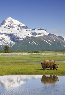 Grizzly Bear, Hallo Bay, Katmai National Park, Alaska by Danita Delimont