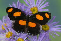 Sammamish Washington Photograph of Butterfly on Flowers, by Danita Delimont