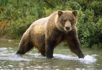 USA, Alaska, McNeil River Sanctuary, Grizzly bear (Ursus arctos) by Danita Delimont