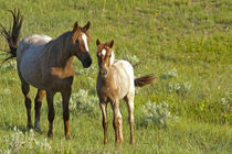 Wild Horses at Theodore Roosevelt National Park in North Dakota von Danita Delimont