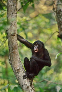 Bonobo calling, Pan paniscus, D.R. Congo von Danita Delimont