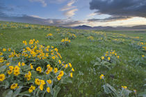 Arrowleaf balsomroot and morning sunrise along the Judith Mountain Range von Danita Delimont