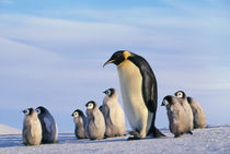Emperor penguin adult walking with chicks, Aptenodytes forsteri, Antarctica by Danita Delimont