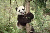 Panda cub playing on tree, Wolong, Sichuan, China von Danita Delimont