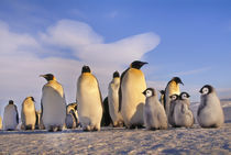 Emperor penguin adults and chicks, Aptenodytes forsteri, Antarctica von Danita Delimont
