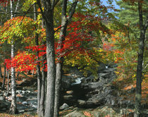 USA, Maine, Coos Canyon. Fall-colored trees line Swift River. Credit as von Danita Delimont