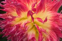 N.A., USA, Alaska.  Dahlia in garden. von Danita Delimont