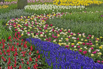 Garden design of Grape Hyacinth, and tulips, Keukenhof Gardens by Danita Delimont