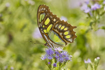 Malachite butterfly nectoring on mist flower, Falcon Lake State Park, Texas by Danita Delimont