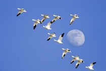 Snow geese take flight at Freezeout Lake NWR,, by Danita Delimont