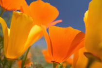 NA,USA,CA,Lancaster,CA Poppies spring bloom by Danita Delimont