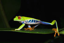 Costa Rica, Red-eyed Tree Frog (Agalychnis callidryas)   von Danita Delimont