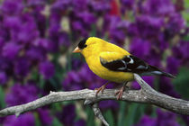 Male, American Goldfinch in summer plumage, Carduelis tristis by Danita Delimont