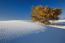Autumn tree among dunes, White Sands National Monument, New Mexico by Danita Delimont