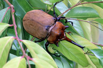 Central America, Costa Rica, Tortuguero National Park. Rhinoceros Beetle by Danita Delimont