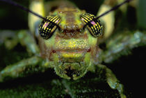 Central America, Panama, Barro Colorado Island. Head portrait of grasshopper by Danita Delimont