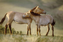 Takhi mare and foal, Hustain Nuruu National Park by Danita Delimont