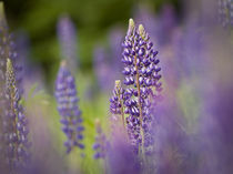 USA, Northeastern Minnesota, near Silver Bay, lupine, Lupinus sp. by Danita Delimont