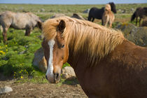 Icelandic Horses in northeastern Iceland. von Danita Delimont