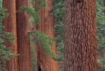 North America, USA, California, Yosemite NP, Mariposa Grove, sequoias by Danita Delimont