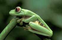 Central America, Panama, Barro Colorado Island  Red-eyed tree frog by Danita Delimont