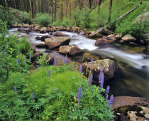 Lupine along Jacobsen Creek in the Pioneer Range of Montana von Danita Delimont