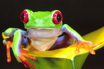 Red Eye Treefrog on a Calla Lily, Native to Central America von Danita Delimont