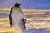 Adult emperor penguin with chick in blizzard, Aptenodytes forsteri, Antarctica by Danita Delimont