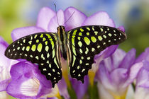 Sammamish Washington Tropical Butterflies photograph the Tailed Jay Butterfly by Danita Delimont