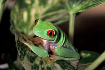 Costa Rica. Red-eyed tree frog. von Danita Delimont