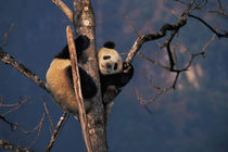Baby panda playing on tree, Wolong, Sichuan Province, China von Danita Delimont