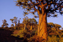 Quiver trees, Aloe dichotoma, Niewoudtville, South Africa by Danita Delimont