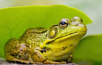 North America, USA, New Jersey, Far Hills, Leonard J. Buck Garden.  Green Frog by Danita Delimont