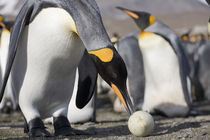 Antarctica, South Georgia Island (UK), King Penguin (Aptenodytes patagonicus) by Danita Delimont