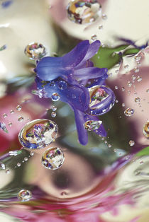 Hyacinth Bud on Mylar With Reflections. Credit as by Danita Delimont