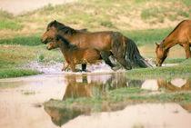 Asia, Mongolia, Gobi Desert. Wild horses. by Danita Delimont