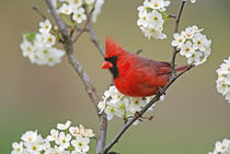 Male Northern Cardinal among pear tree blossoms, Kentucky   von Danita Delimont