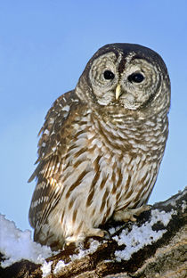 USA, Colorado. Portrait of barred owl perched on snow-covered branch von Danita Delimont