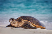 Green sea turtle on beach, Chelonia mydas, Hawaiian Leeward Islands by Danita Delimont
