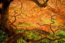 USA, Delaware, Wilmington. Japanese maple trees in Winterthur Gardens by Danita Delimont