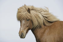 Iceland. Portrait of an Icelandic horse. Credit as by Danita Delimont