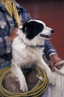 N.A., USA, Oregon, Seneca, Ponderosa Ranch Cowboy in saddle with dog von Danita Delimont