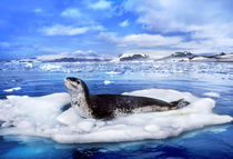 Leopard seal on ice floe, Hydrurga leptonyx, Antarctica by Danita Delimont