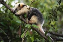Collared anteater, Tamandua tetradactyla, Pantanal, Brazil von Danita Delimont
