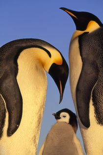 Emperor penguin family, Aptenodytes forsteri, Weddell Sea, Antarctica von Danita Delimont