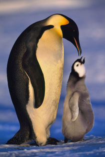 Emperor penguin with chick begging, for food   Aptenodytes forsteri, Antarctica by Danita Delimont