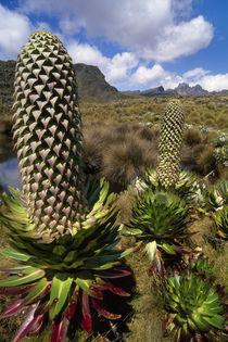 Lobelia flower, Lobelia deckenii, Mt Kenya National Park, Kenya von Danita Delimont