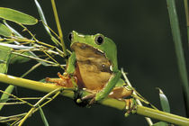 South America, Surinam. Bicolor monkey frog (Phyllomedusa bicolor) by Danita Delimont