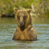Alaska. Katmai NP. Coastal Brown Bear fishing for salmon. by Danita Delimont